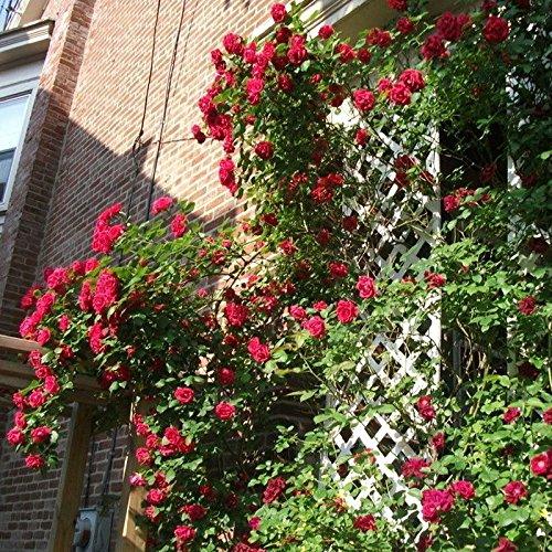 300 / Sac de haute qualité d'escalade usine Polyantha Graines Rose bricolage jardin décoration plantes en pot Graines de fleurs de vente en gros