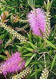 TROPICA - Australischer Lampenputzer Pink (Callistemon speciosus) - 100 Samen