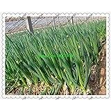 fistulosum 500pcs Allium, en macetas semillas de cebolla china, cebolla de verdeo Semillas -Cuatro Vegetable Seeds temporada de siembra para jardín