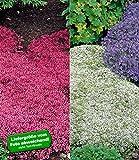 BALDUR-Garten Winterharter Bodendecker Thymian-Kollektion rot und weiß 6 Pflanzen Thymus Polsterthymian Thymian Pflanzen winterhart