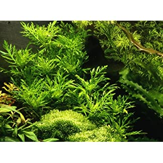 3 X Water Wisteria (Hygrophila Difformis) - Live Aquarium Plant 7