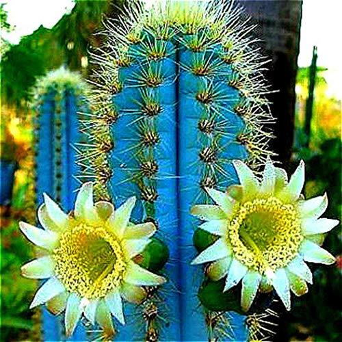 Tomasa Gartensamen- 50 Stück Raritäten Sukkulenten Samen Bonsai Samen Pflanzensamen winterhart mehrjährig Kaktus Sukkulenten Blumensamen für Terrasse/Balkon/Garten