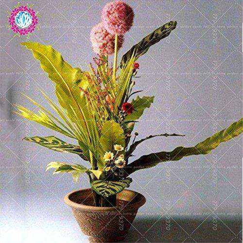 100pcs Rare géant Allium Giganteum Bonsai seeds.Blue Allium graines en pot de fleurs vivaces, finition des pelouses et l'aménagement paysager. Variétés 3