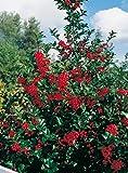 Stechpalme Heckenfee - Ilex meservae - immergrün weiblich rote Früchte schnittverträglich 40-50cm - Befruchter ist Heckenstar - Hecken-Pflanze von Garten Schlüter - Pflanzen in Top Qualität