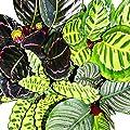 Schattenpflanzen 4er Set - ausgefallenem Blattmuster - Calathea - ca. 50cm hoch von exotenherz - Du und dein Garten