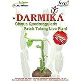 Rookhraj Paudhshala Hadjod Live Plant Cissus Quadrangularis Or Asthisamharaka Live Plant Amazon In Garden Outdoors