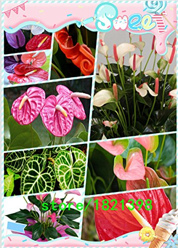 graines de anthurium, graines de anthurium bon marché, Bonsai balcon fleur, anthurium graines en pot -200 pcs / sac
