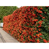 Vivai Le Georgiche Pyracantha Orange Glow
