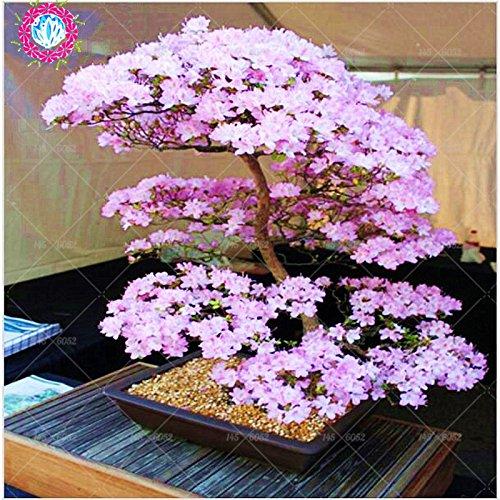 Bonsaï Graines Sakura rares japonais Fleurs de cerisier japonais Fleurs Graines Bonsai, Rose Serrulata 10 graines / paquet