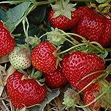 Erdbeere 'Sengana Selektion' von Hummi - 12 Pflanzen in 7 cm Töpfen - stark wachsende Erdbeerpflanze mit frei hängenden Früchten - intensives, süßes Aroma - Erdbeerpflanze von Pflanzen-Kölle
