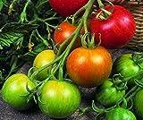 SeeKay Tomato Tigerella 200 seeds