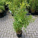 Fargesia robusta Campbell® - robuster Heckenbambus Campbell Preis nach Größe 100-120 cm