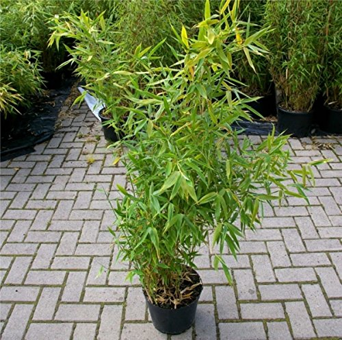fargesia-robusta-campbell-hoher-hecken-bambus-40-60-cm-immergrun