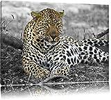schöner Leopard liegt im Laub schwarz/weiß auf Leinwand, XXL riesige Bilder fertig gerahmt mit Keilrahmen, Kunstdruck auf Wandbild mit Rahmen, günstiger als Gemälde oder Ölbild, kein Poster oder Plakat