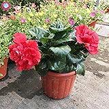 100PCS Riesendoppelblätter Hibiskussamen Seltene blaue Hibiskus Samen Bonsai Blumensamen Perennial Indoor-Anlage für Hausgarten 4