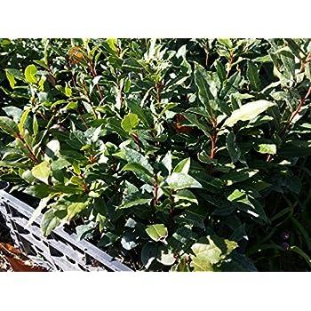 pianta piante di alloro lauro nobile siepe ornamento