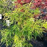 Grüner Garten Shop Grüner Fächerahorn Acer palmatum Seiryu Ahorn 80-90 cm im 19 cm Topf