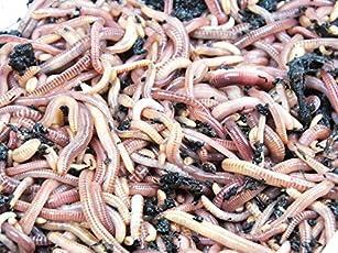 KOMPOSTWÜRMER - 1500 Stück/Eimer - Ideale Kompoststarter Regenwurm - aktive Eisenia Regenwürmer - Würmer für den Kompost, Komposter, Komposttoilette, Wurmkomposter, Wurmkiste und Wurmfarm