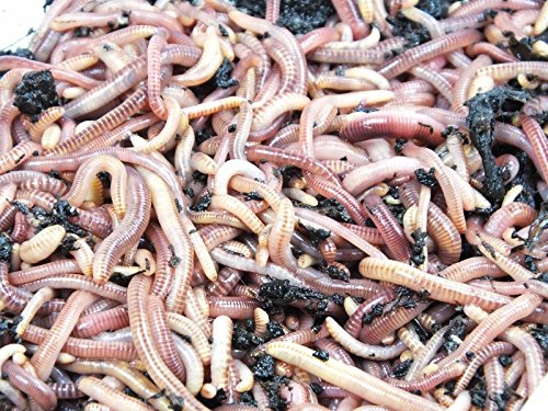 KOMPOSTWÜRMER – 1500 Stück/Eimer – Ideale Kompoststarter Regenwurm – aktive Eisenia Regenwürmer – Würmer für den Kompost, Komposter, Komposttoilette, Wurmkomposter, Wurmkiste