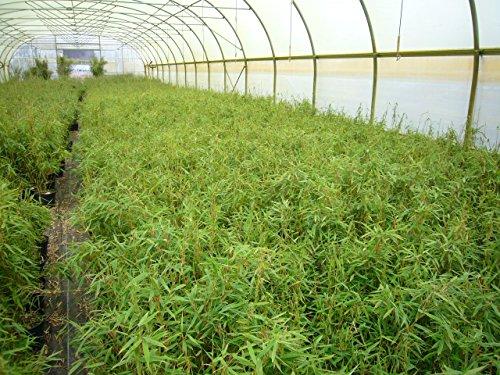 Garten Bambus Fargesia murieliae \'Jumbo\' 30-40cm im Topf gewachsen