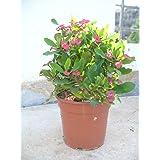 Euphorbia milii - Espina de cristo - roja/una planta 35-45 cm