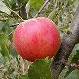 Dominik Blumen und Pflanzen Apfelbaum, Malus domestica,Cox Orange, Busch, 1 Pflanze, ca. 60-80 cm hoch, 5-7 Liter Container, plus 1 Paar Handschuhe gratis