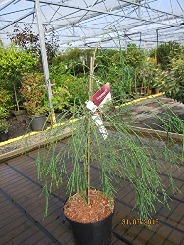 Chamaecyparis lawsoniana Drooping Solo - Lawsons Scheinzypresse Drooping Solo