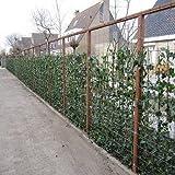 12 Efeu 75-100 cm (Hedera Hibernica): 12 kaufen / 8 bezahlen | 12 immergrüne Kletterpflanzen für eine 2 Meter 100% Sichtschutz Hecke | ClematisOnline Kletterpflanzen & Blumen