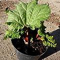 Rhabarber Pflanze Holsteiner Blut rotstielige Sorte eher mild im 3 Liter Topf von Grüner Garten Shop - Du und dein Garten