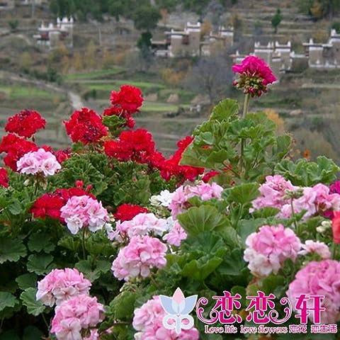20 semillas / paquete de semillas de flores de hortensia al por mayor de semillas de geranio perenne de flores en maceta fácil de la planta