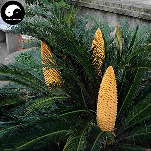 Kaufen Cycas Revoluta Baumsamen 4pcs Pflanze Eisen-Baum Chinesische Cycas Tie Shu