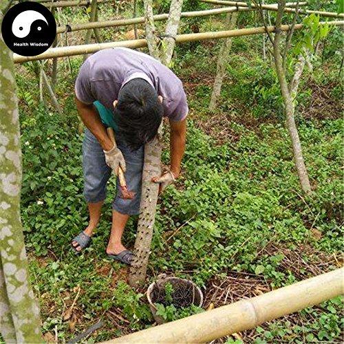 Shopmeeko Kaufen Sie echte Aquilaria Sinensis Baum Semente 15 Stücke Pflanze Agarwood duftenden wachsen chinesische Weihrauch Holz Chen Xiang 2018