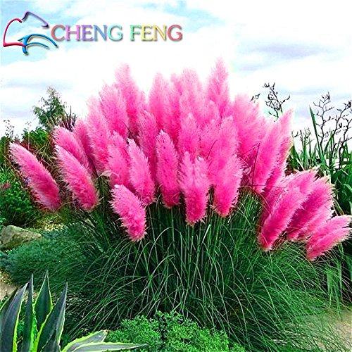 Shopmeeko 200 Stück Pampas Grass Pflanzen Patio und Garten Topfpflanzen Zierpflanzen Neue Blumen (Rosa Gelb Weiß Lila) Cortaderia Gräser