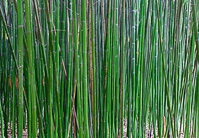 Grüner Tempelbambus - Heckenbambus - Semiarundinaria fastuosa Viridis - 70+cm 2 Ltr. Topf von GardenPalms auf Du und dein Garten