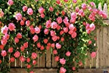 #2: Pink Climbing Rose Flower Seeds, Beautiful Rare Colour Rose Plant Grows in Any Season and Very Easy to Grow - BEE Garden Organic