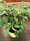 Chili Flambinos CAPSICUM ANNUUM Chili Pflanzen 1stk.