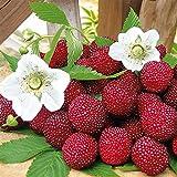 Qulista Samenhaus - 20pcs Rarität Erdbeer-Himbeere 'Red Beauty' süß reichtragend Bodendeckend exotisch Obstsamen winterhart für Balkon, Terrasse und Wintergarten