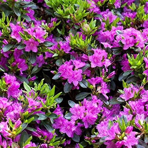 Rhododendron obt. \'Königstein\' Japanische Azalee 20-25cm im Topf gewachsen