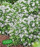 BALDUR-Garten Weiße winterharte Isotoma 'White Splash',3 Pflanzen blühender Bodendecker