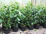 VERSANDKOSTENFREI 10 Stück Prunus laurocerasus 'Novita' 90 cm Kirschlorbeer