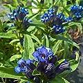 Winterharte Steingartenpflanzen ° Kreuzenzian ° Enzian ° Gentiana cruciata von Gärtnerei Bügel in Zeutsch bei Du und dein Garten