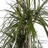 Dracaena Marginata - Maceta 20cm. - Altura aprox. 1m - 3 Troncos - Planta viva - (Envío sólo a Península)