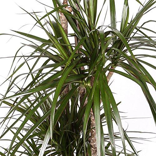 dracaena-marginata-maceta-17cm-altura-aprox-80cm-2-troncos-envio-solo-a-peninsula