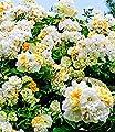 """BALDUR-Garten Rambler-Rose """"Christine Helene"""" 1 Pflanze von Baldur-Garten - Du und dein Garten"""