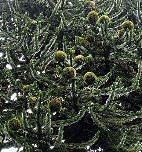 5 Samen Affenschwanz Tanne -Araucaria araucana- (Affenschwanz)