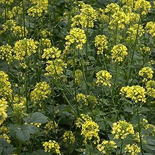 White Mustard Gelbsenf 25 Kg Green Manure Cover Green Fertilizer Soil Activator