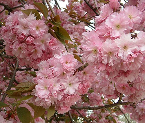 prunus-kanzan-japanese-flowering-cherry-tree-6-7ft-supplied-in-a-75-litre-pot