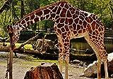 hansepuzzle 18911 Tierwelt - Giraffe, 260 Teile in hochwertiger Kartonbox, Puzzle-Teile in wiederverschliessbarem Beutel