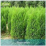 ZLKING 50 PC chinesische Thuja Zypresse Bonsai Samen Frische Nature High Keimungrate Platycladus Pflanzentopf Seeds