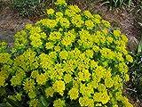 Gold-Wolfsmilch, Euphorbia polychroma im 9cm Topf